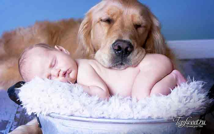 Голден ретривер. лучшие породы собак для семей с детьми