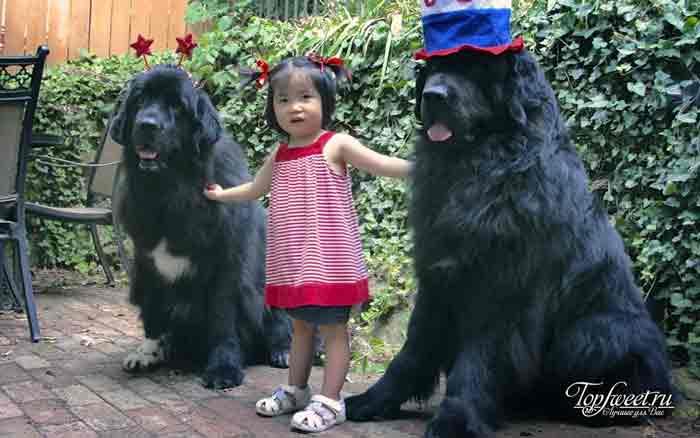 Ньюфаундленд. лучшие породы собак для семей с детьми