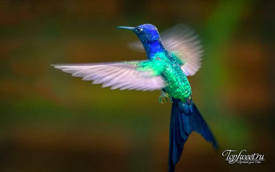 Ширококрылый колибри