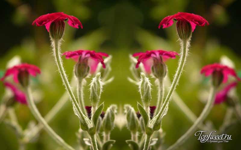 Смолевка гибралтарская. Редкие и самые красивые цветы в мире