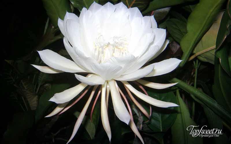 Цветок кадупул. Редкие и самые красивые цветы в мире
