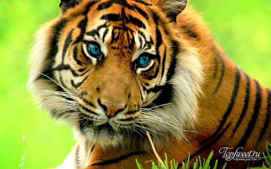 Тигр. ТОП-10 Самые красивые животные в мире
