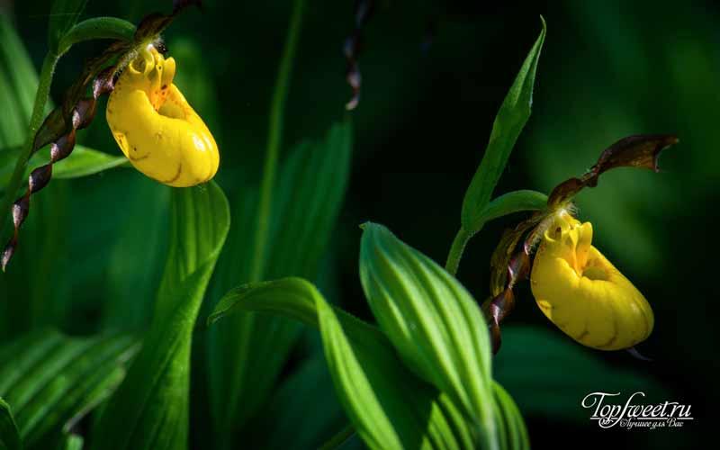 Желто-фиолетовый венерин башмачок