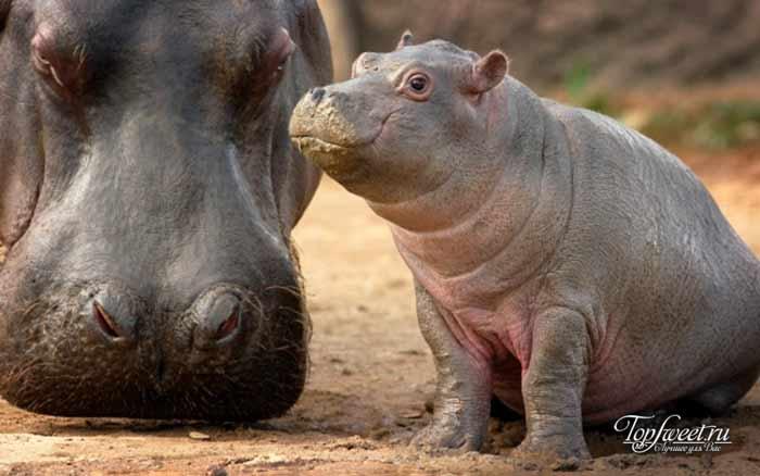 Бегемот. Интересные факты о диких животных Африки. ТОП-25