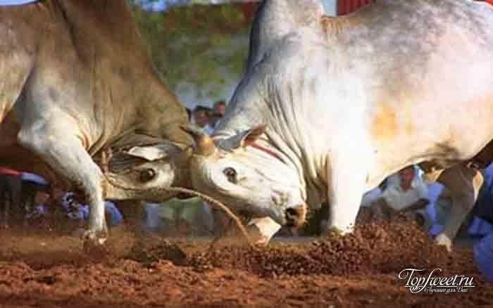 Бои быков. ТОП-10 самых шокирующих ритуалов Африки