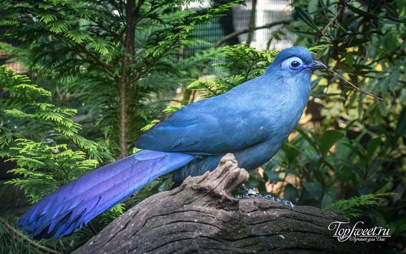 Голубая мадагаскарская кукушка. Удивительные животные, которые обитают только на Мадагаскаре