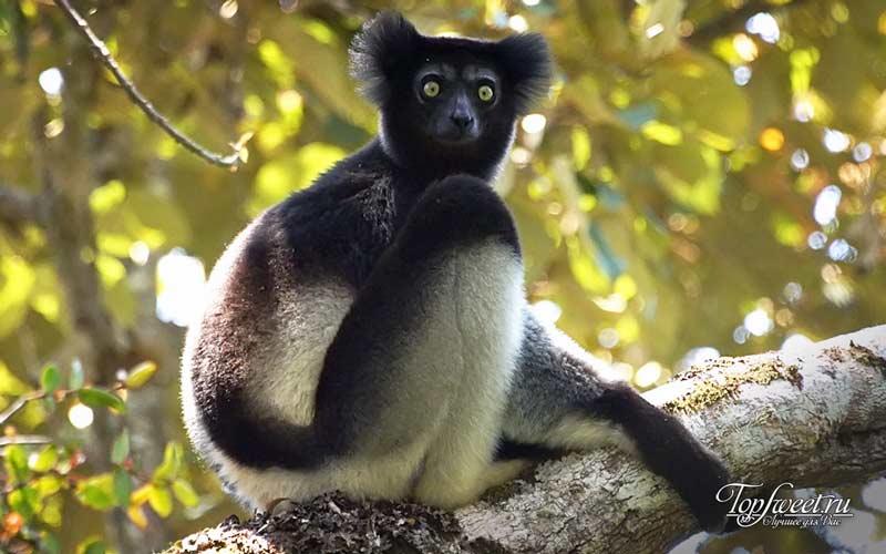 Индри. Удивительные животные, которые обитают только на Мадагаскаре