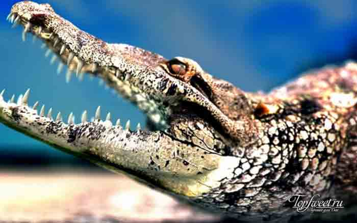 Крокодил. Интересные факты о диких животных Африки. ТОП-25