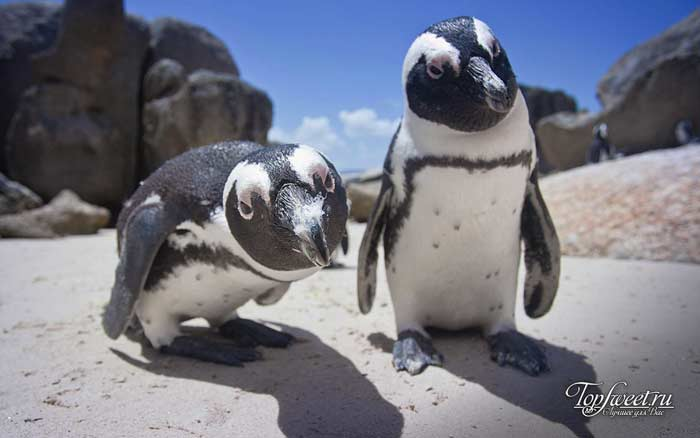 Пингвины в Африке. Интересные факты о диких животных Африки. ТОП-25