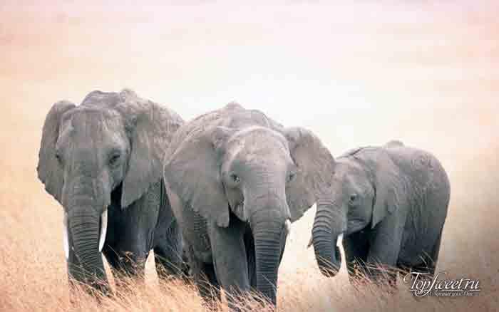 Слон. Интересные факты о диких животных Африки. ТОП-25