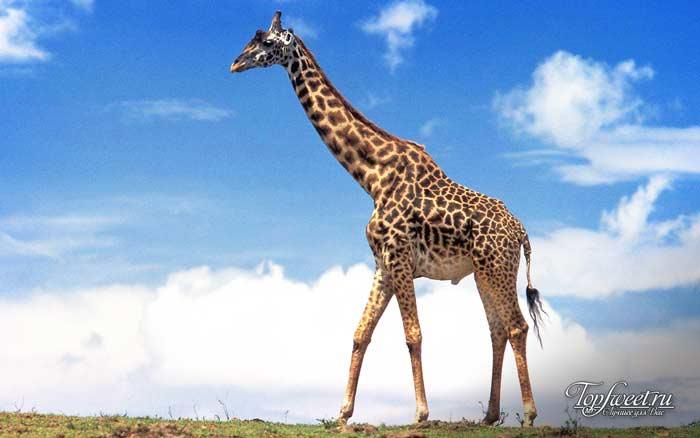 Жираф. Интересные факты о диких животных Африки. ТОП-25