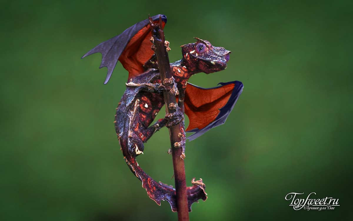 Мадагаскарский красноголовый нырок
