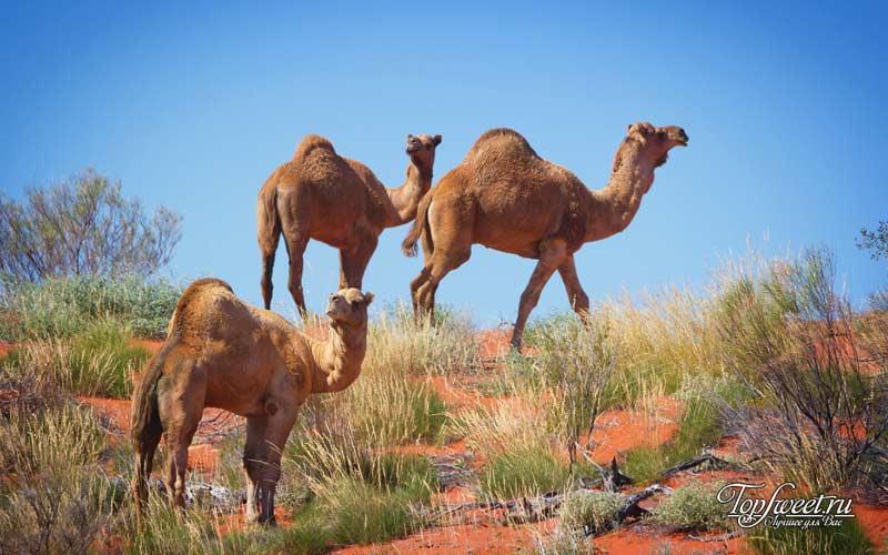 Атака верблюдов