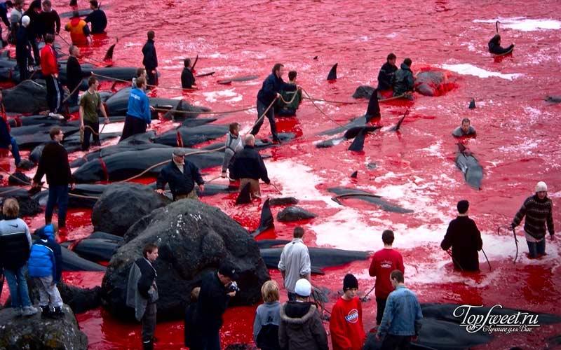 Ежегодное массовое убийство китов