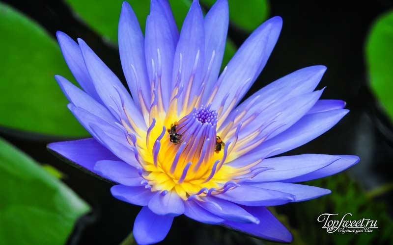 Синий лотос. Лучшие лекарства и наркотики древних времен