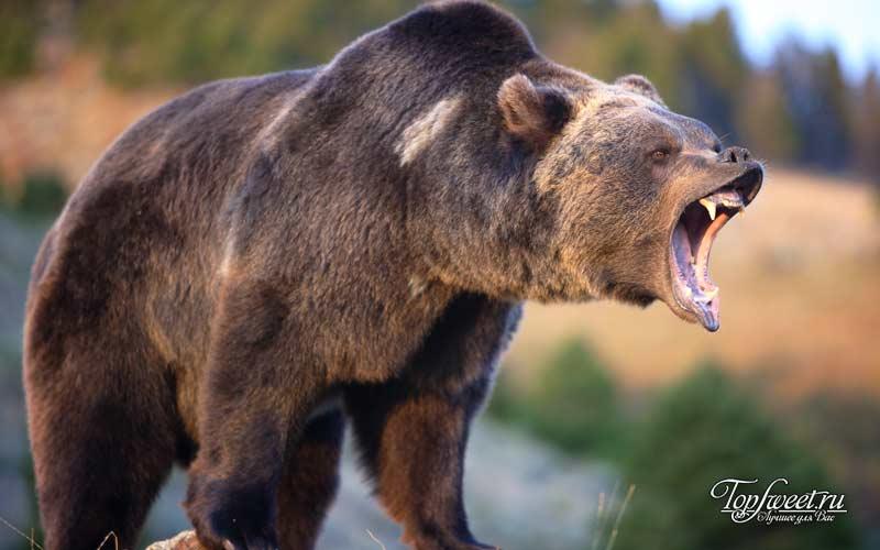 Медведи в Лучегорске