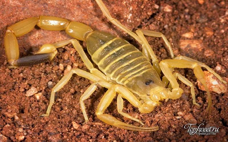 Жёлтый скорпион