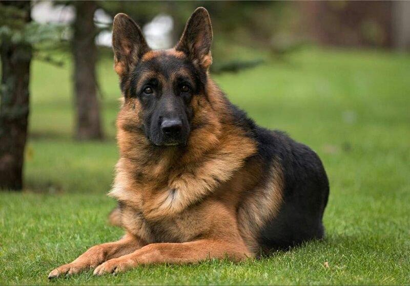 Немецкая овчарка. Самые умные собаки