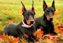 Доберман. Самые умные породы собак