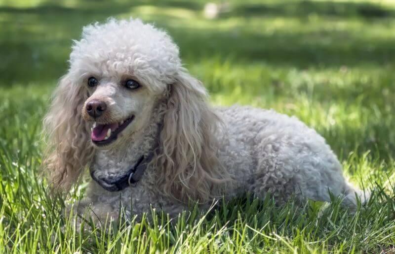 Пудель. Самые умные собаки