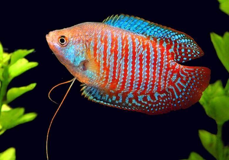 Рыба Гном Гурами