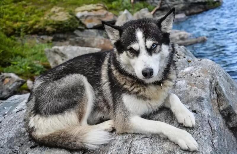 Самые сильные породы собак - Сибирский хаски