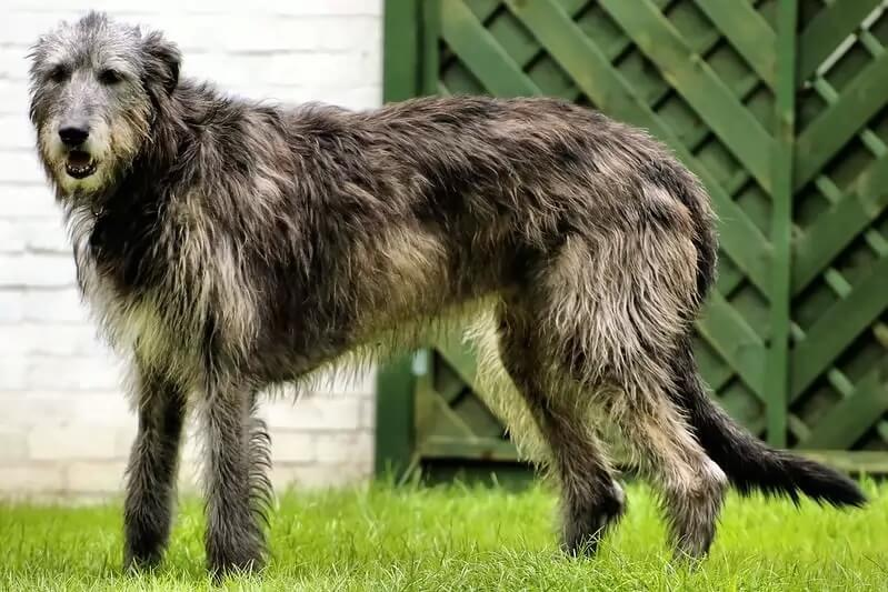 Самые сильные породы собак - Ирландский волкодав