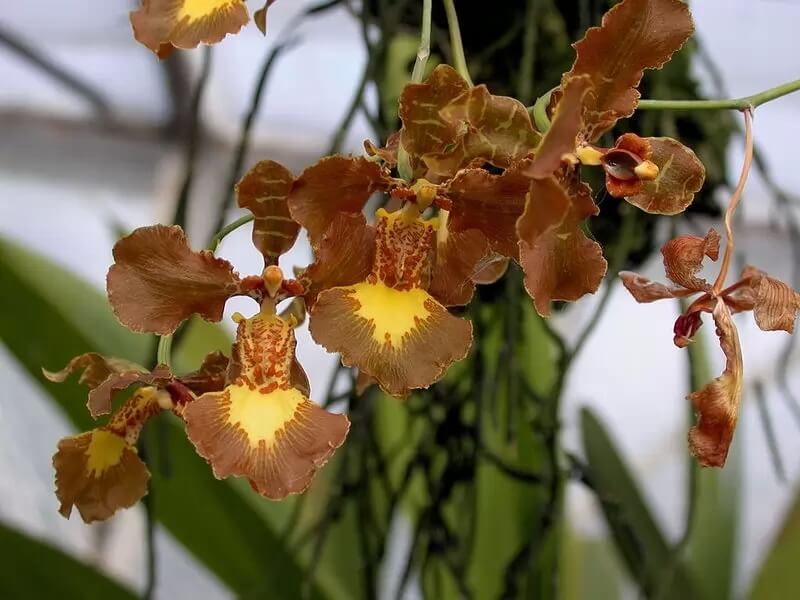 Самые красивые орхидеи - Онцидиум Форбези