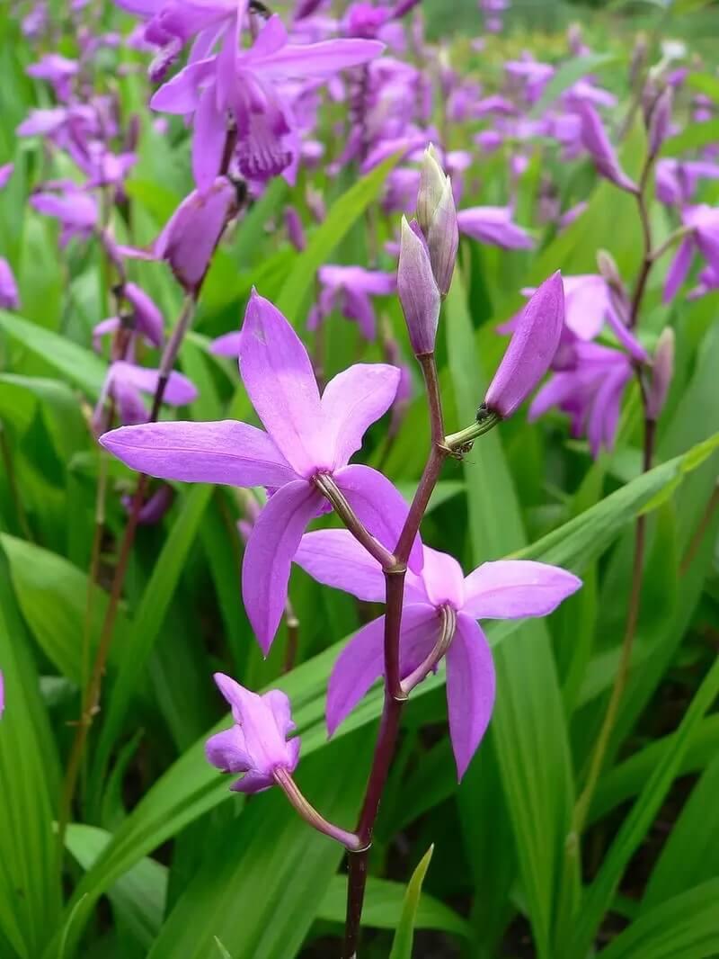 Самые красивые орхидеи - Блетилла Полосатая