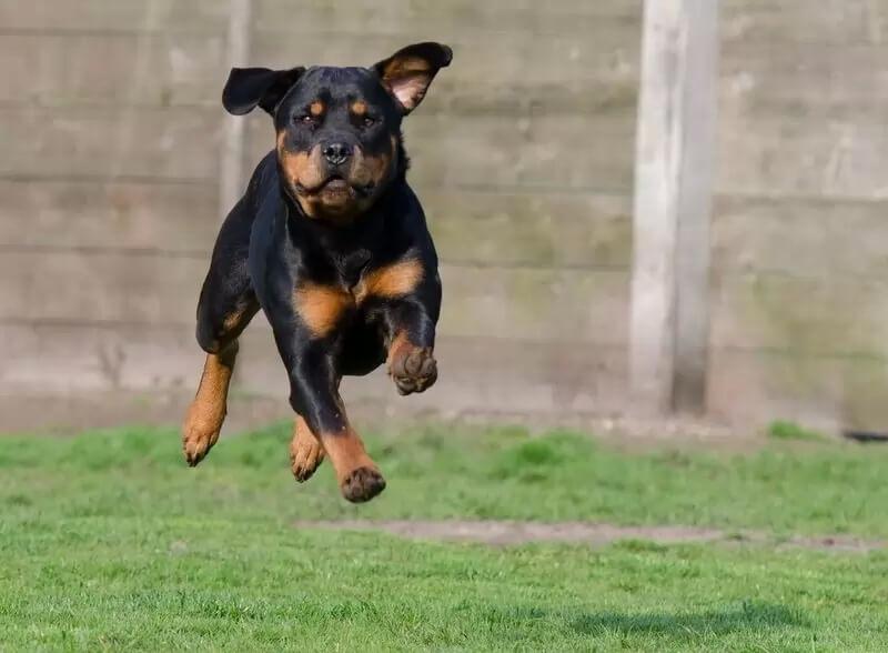 Самые сильные породы собак - Ротвейлер