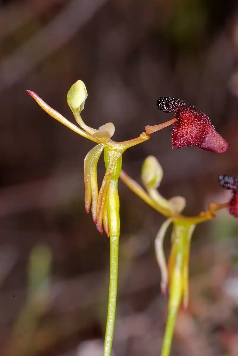 Самые красивые орхидеи - Дракея Глиптодон