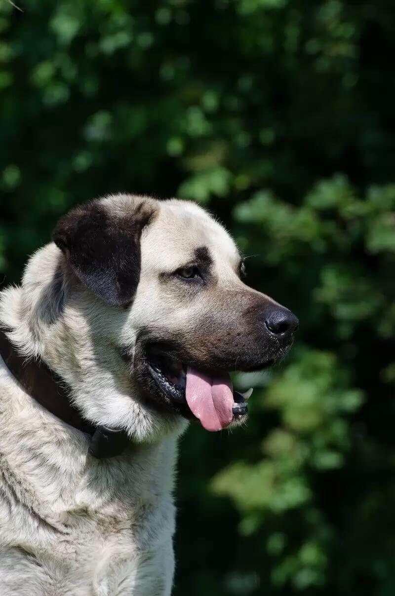 Самые сильные породы собак - Кангал