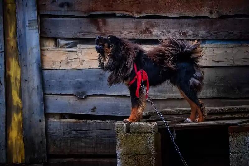 Самые сильные породы собак - Тибетский мастиф